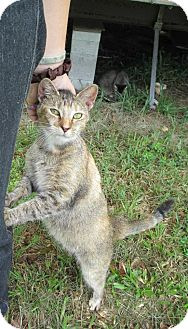 Abyssinian Cat for adoption in Zolfo Springs, Florida - sugar-baby-love