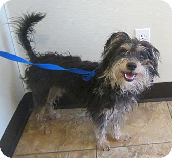 Miniature Schnauzer Mix Dog for adoption in Oak Ridge, New Jersey - Mario