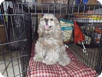 Cocker Spaniel Dog for adoption in Quincy, Indiana - Charlie