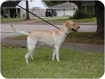 Labrador Retriever Dog for adoption in Houston, Texas - Lilly
