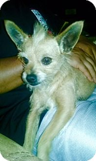 Cairn Terrier Mix Dog for adoption in San Antonio, Texas - Darby
