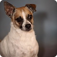 Adopt A Pet :: Buddy - Dallas, TX