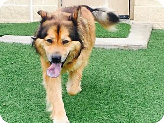 Chow Chow/Shepherd (Unknown Type) Mix Dog for adoption in Redmond, Washington - Ingrid