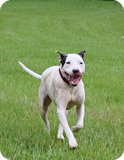 Pit Bull Terrier Mix Dog for adoption in Natchitoches, Louisiana - Dino