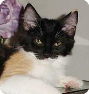 Domestic Mediumhair Kitten for adoption in Garland, Texas - Maggie