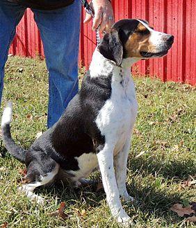 Treeing Walker Coonhound Mix Dog for adoption in Joplin, Missouri - Ruccus