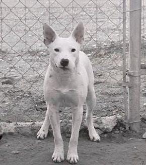 Bull Terrier Dog for adoption in Clifton, Texas - Barba