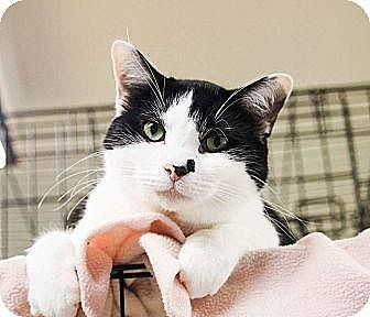 Domestic Shorthair/Domestic Shorthair Mix Cat for adoption in Anderson, Indiana - Smudge