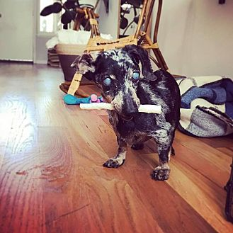Dachshund Dog for adoption in Chicago, Illinois - Dottie