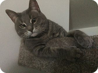 Domestic Shorthair Cat for adoption in syracuse, New York - Kitty