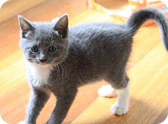 Domestic Shorthair Kitten for adoption in Woodmere, New York - Sadie