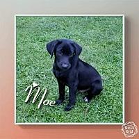Adopt A Pet :: Moe - SOUTHINGTON, CT