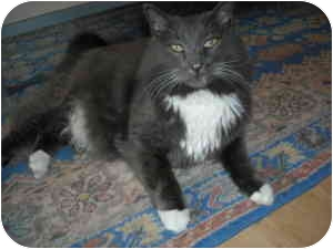 Maine Coon Cat for adoption in Arlington, Virginia - Isaac