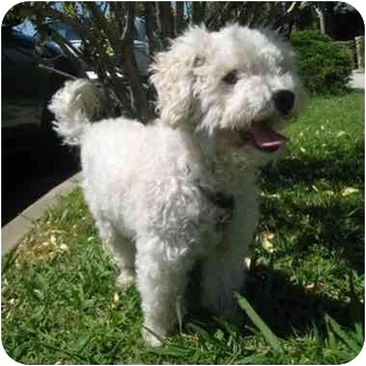 Bichon Frise Mix Dog for adoption in La Costa, California - Carson