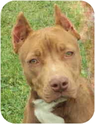 American Staffordshire Terrier Mix Puppy for adoption in Dayton, Ohio - Kitty