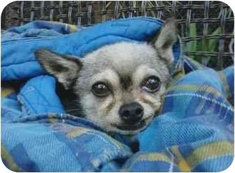 Chihuahua Dog for adoption in Studio City, California - Mingo