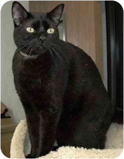 Domestic Shorthair Cat for adoption in Hawthorne, California - Munch