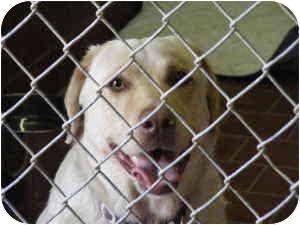 Labrador Retriever Mix Dog for adoption in Everman, Texas - Sandy