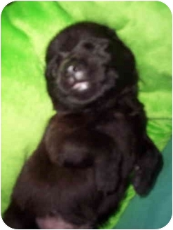 German Shepherd Dog/Labrador Retriever Mix Dog for adoption in Burr Ridge, Illinois - ORPHANED PUPS