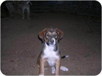 Australian Shepherd/Labrador Retriever Mix Puppy for adoption in Glastonbury, Connecticut - Marvyn