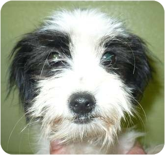 Lhasa Apso/Terrier (Unknown Type, Small) Mix Puppy for adoption in Eastpoint, Florida - Adriane