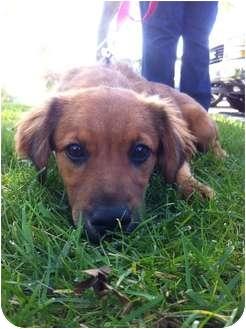 Australian Shepherd/Spaniel (Unknown Type) Mix Puppy for adoption in Nanuet, New York - SKYE