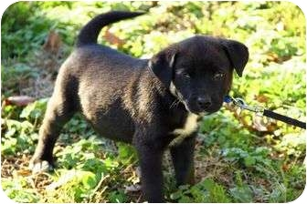 Irish Wolfhound/Border Collie Mix Puppy for adoption in Harrisonburg, Virginia - Dillion