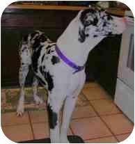 Great Dane Puppy for adoption in Guthrie, Oklahoma - Jackson-Pending