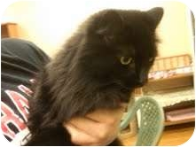 Domestic Mediumhair Cat for adoption in Medina, Ohio - Handsome