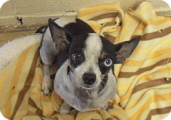 Chihuahua/Dachshund Mix Dog for adoption in Wickenburg, Arizona - Lola