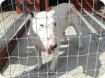 Bull Terrier Dog for adoption in Lawrenceburg, Tennessee - Stella