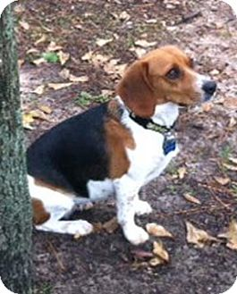 Beagle Dog for adoption in Houston, Texas - Holly
