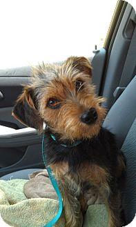 Yorkie, Yorkshire Terrier/Schnauzer (Miniature) Mix Dog for adoption in Homewood, Alabama - Nathan