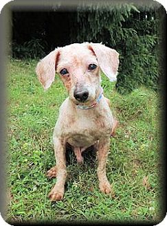 Poodle (Miniature) Mix Dog for adoption in Wilmington, Delaware - Teddy