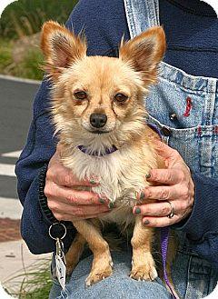 Chihuahua Dog for adoption in Berkeley, California - Ian