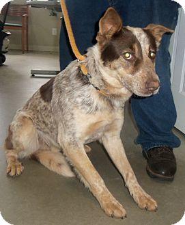 Border Collie/Blue Heeler Mix Dog for adoption in Cleveland, Georgia - Bandit