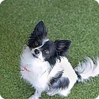 Adopt A Pet :: Isabella - Mission Viejo, CA