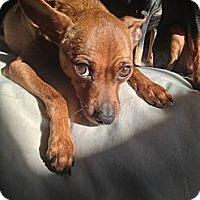 Adopt A Pet :: Sage - Nashville, TN