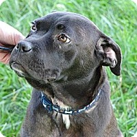 Adopt A Pet :: Shadow - Reisterstown, MD
