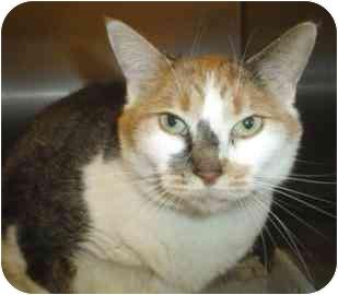 Domestic Shorthair Cat for adoption in Walker, Michigan - Kamie