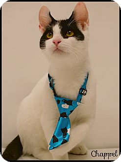 Domestic Shorthair Cat for adoption in Arlington/Ft Worth, Texas - Chappel