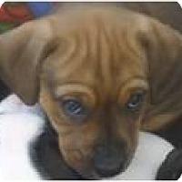 Adopt A Pet :: Cinnamon - Beachwood, OH