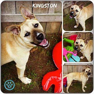 Shepherd (Unknown Type) Mix Puppy for adoption in Kimberton, Pennsylvania - Kingston
