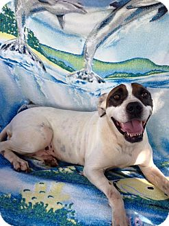 American Bulldog/American Pit Bull Terrier Mix Dog for adoption in Lebanon, Connecticut - Betsy