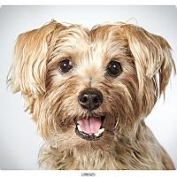 Adopt A Pet :: Lorenzo - New York, NY