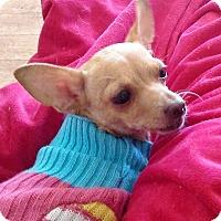 Adopt A Pet :: Luv Bug - AUSTIN, TX
