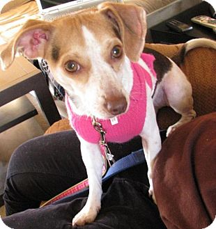 Jack Russell Terrier/Beagle Mix Dog for adoption in Mt. Clemens, Michigan - Maisy