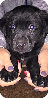 Labrador Retriever Mix Puppy for adoption in waterbury, Connecticut - Riley