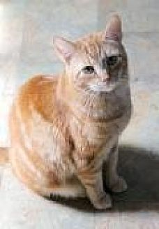 Domestic Shorthair Cat for adoption in Memphis, Tennessee - Sherbert