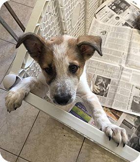 Cattle Dog/Collie Mix Puppy for adoption in Umatilla, Florida - Timber